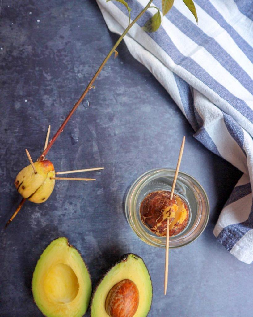 Nocciolo Di Avocado In Acqua comefare: la piantina di avocado / dal seme - la vie est fit